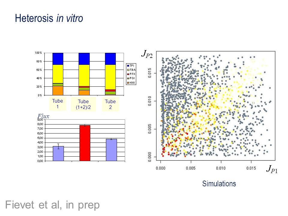 Heterosis in vitro Fievet et al, in prep JP2 JP1 Simulations Flux