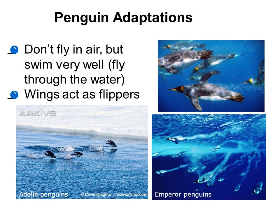 Penguin Adaptations Don't fly in air, but swim very well (fly through the water) Wings act as flippers.