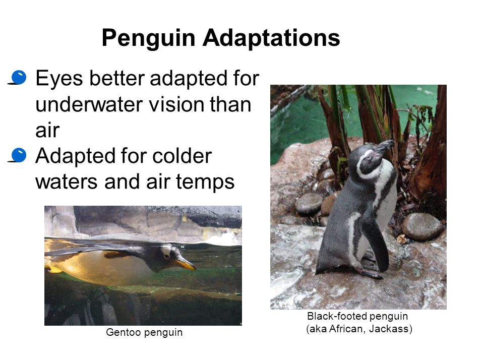 Penguin Adaptations Eyes better adapted for underwater vision than air