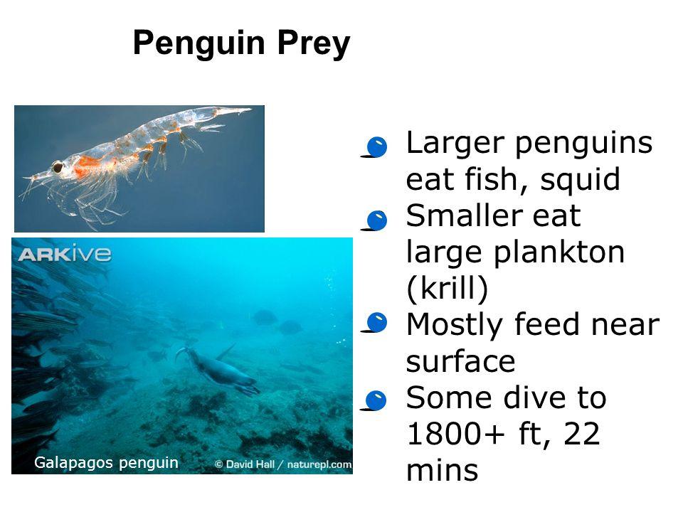 Penguin Prey Larger penguins eat fish, squid