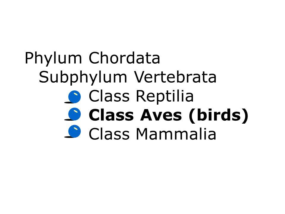 Phylum Chordata Subphylum Vertebrata Class Reptilia Class Aves (birds) Class Mammalia