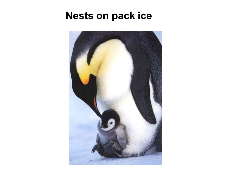 Nests on pack ice