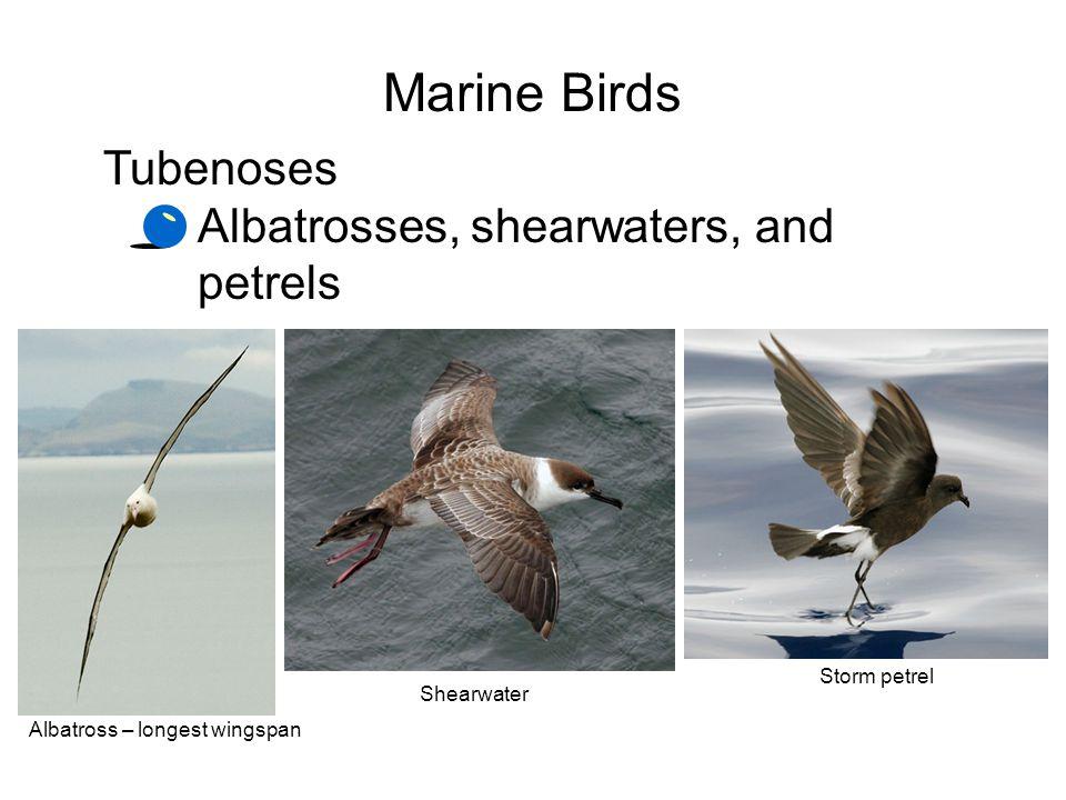 Marine Birds Tubenoses Albatrosses, shearwaters, and petrels