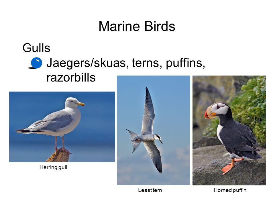 Marine Birds Gulls Jaegers/skuas, terns, puffins, razorbills