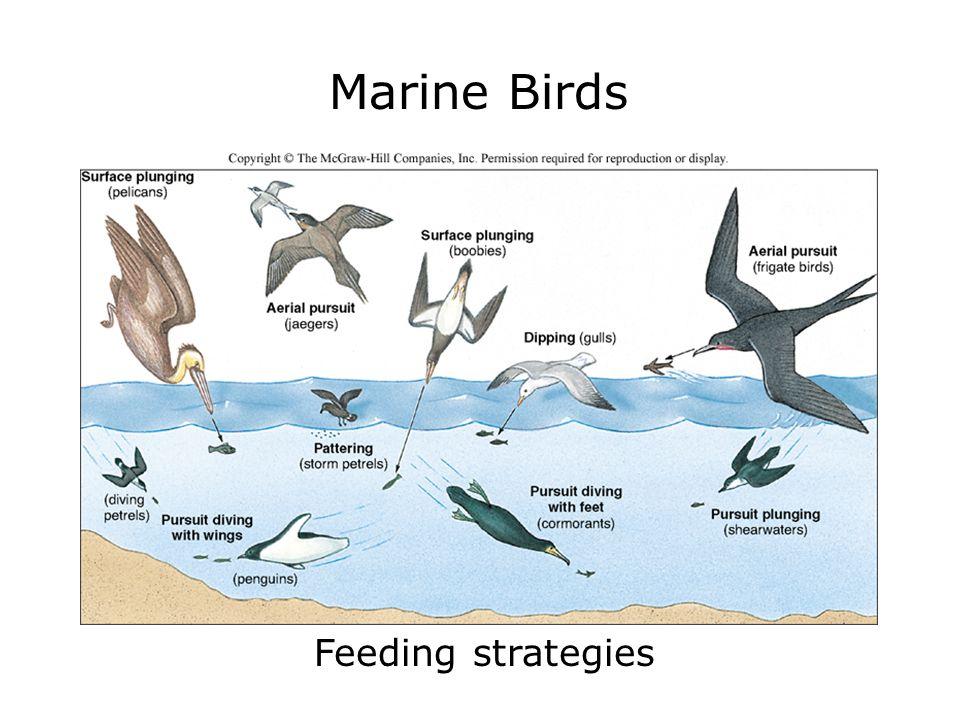 Marine Birds Feeding strategies
