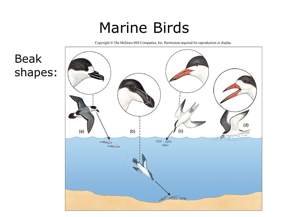 Marine Birds Beak shapes: