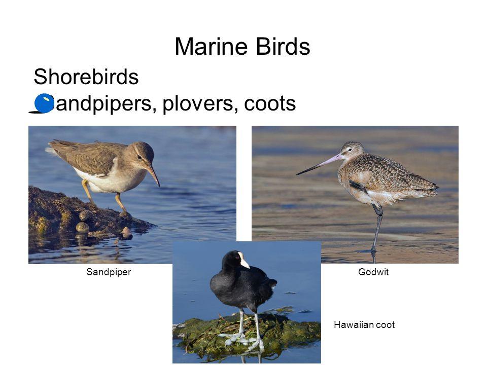Marine Birds Shorebirds Sandpipers, plovers, coots Sandpiper Godwit
