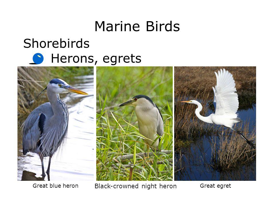 Marine Birds Shorebirds Herons, egrets Black-crowned night heron