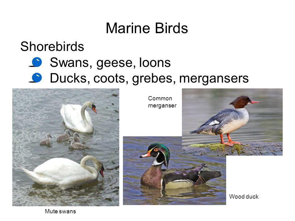 Marine Birds Shorebirds Swans, geese, loons