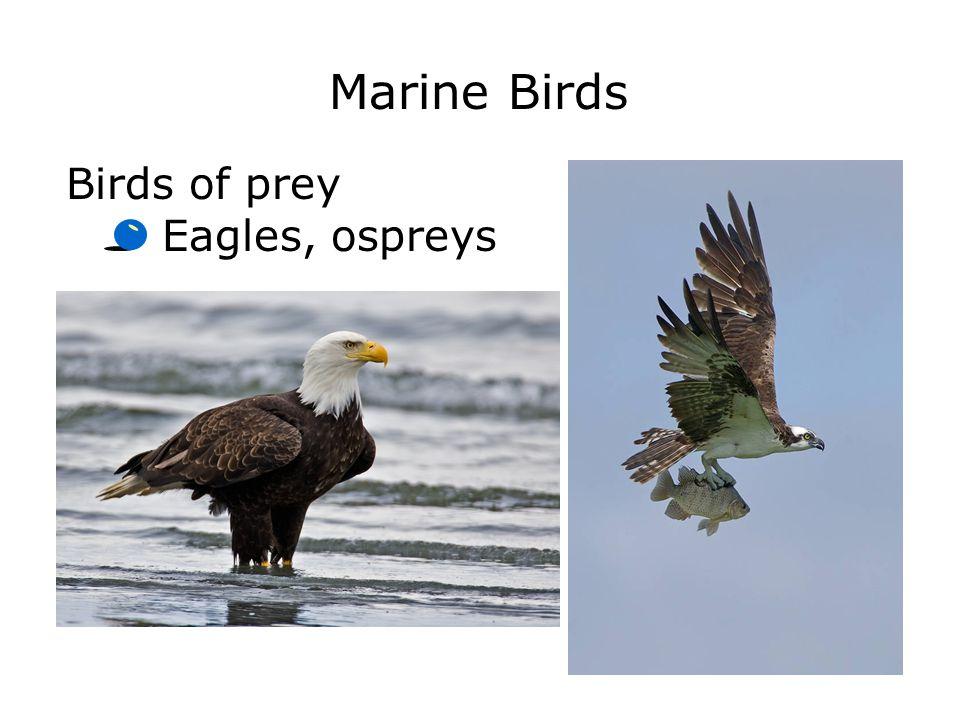 Marine Birds Birds of prey Eagles, ospreys