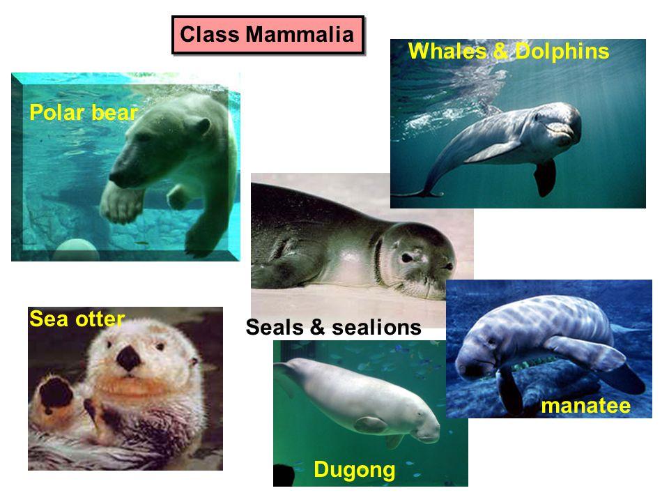 Class Mammalia Whales & Dolphins Polar bear Sea otter Seals & sealions manatee Dugong