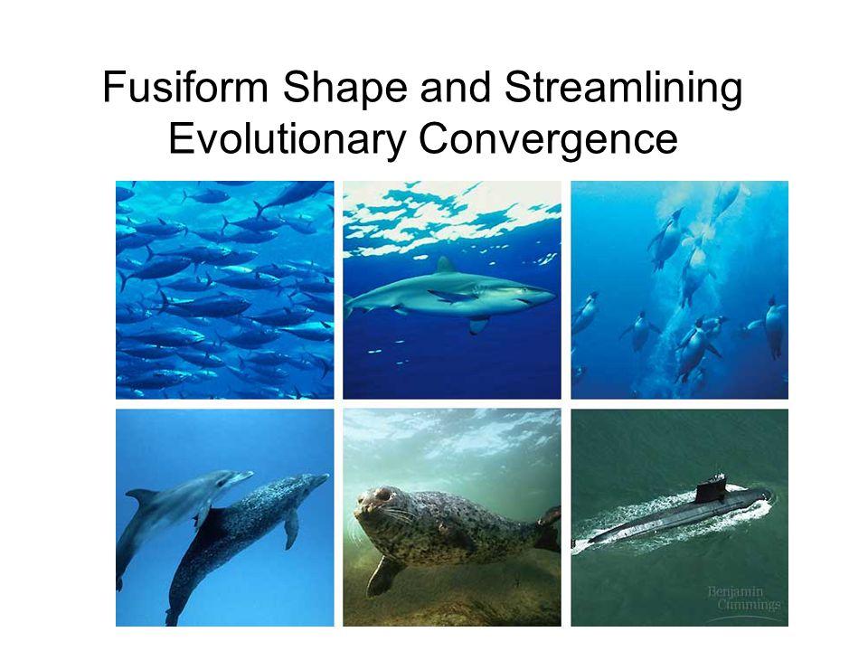 Fusiform Shape and Streamlining Evolutionary Convergence