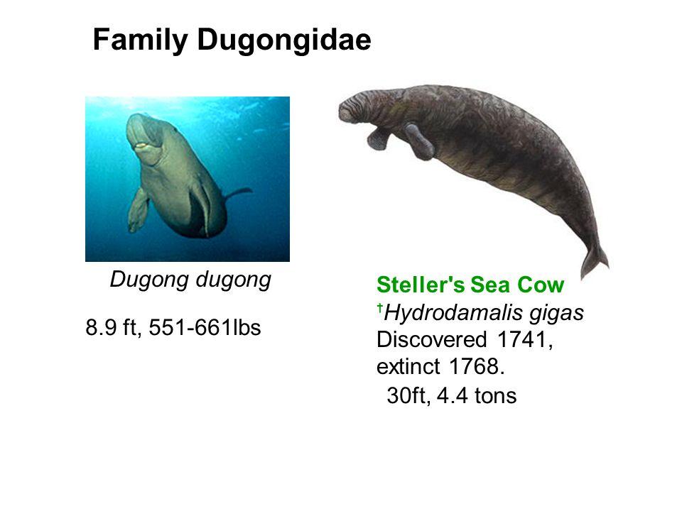 Family Dugongidae Dugong dugong Steller s Sea Cow tHydrodamalis gigas