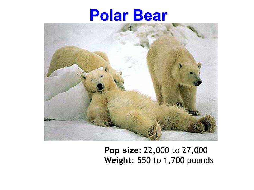 Polar Bear Pop size: 22,000 to 27,000 Weight: 550 to 1,700 pounds