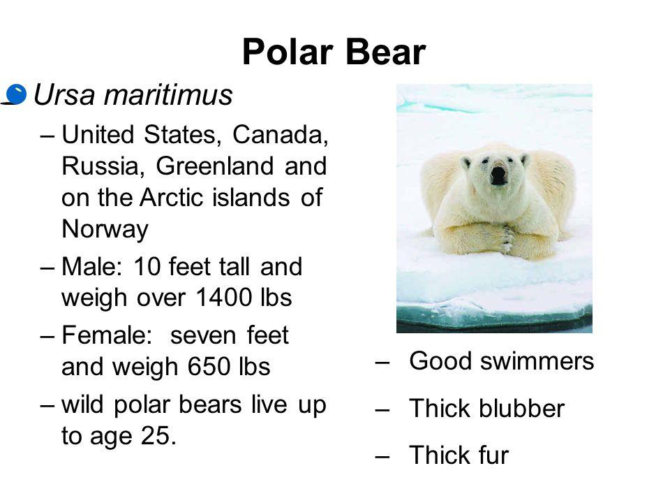 Polar Bear Ursa maritimus