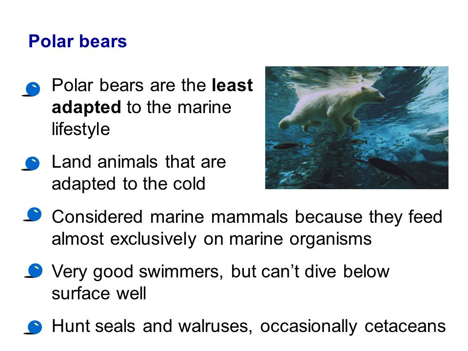 Polar bears Polar bears are the least adapted to the marine lifestyle. Land animals that are adapted to the cold.