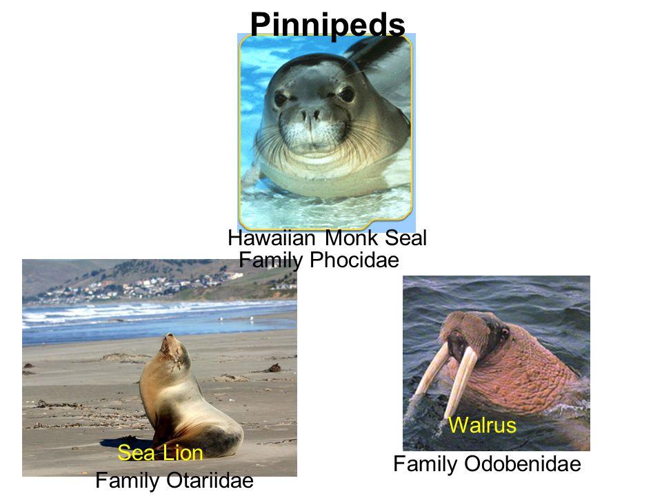 Pinnipeds Hawaiian Monk Seal Family Phocidae Walrus Sea Lion
