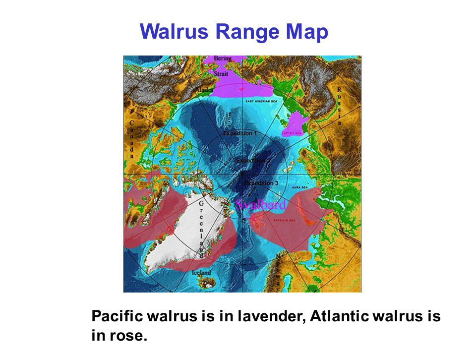 Walrus Range Map Pacific walrus is in lavender, Atlantic walrus is in rose.