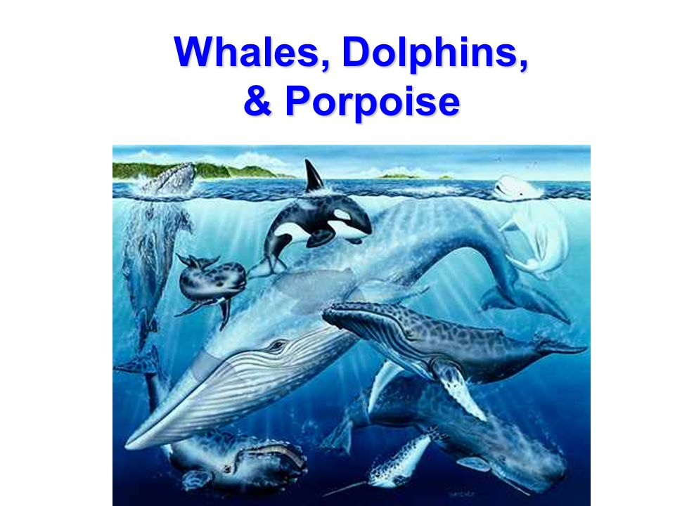 Whales, Dolphins, & Porpoise