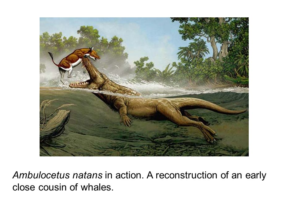 Ambulocetus natans in action