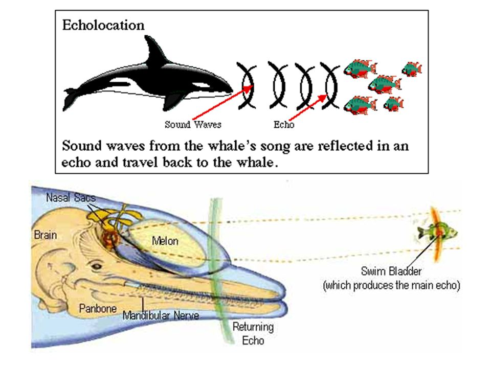 the complex echo location system of dolphins Intra- and interfamilial system- echolocation in dolphins was the head of a dolphin shown in fig 1 is a very complex structure.