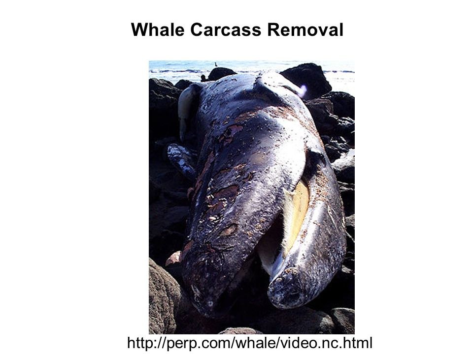 Whale Carcass Removal http://perp.com/whale/video.nc.html