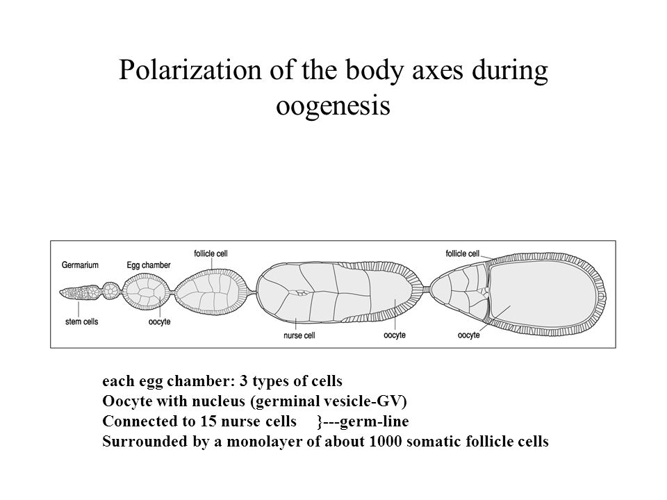 Polarization of the body axes during oogenesis