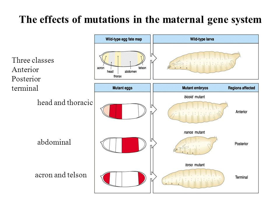 The effects of mutations in the maternal gene system
