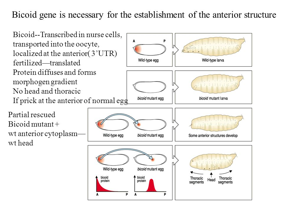 Bicoid gene is necessary for the establishment of the anterior structure