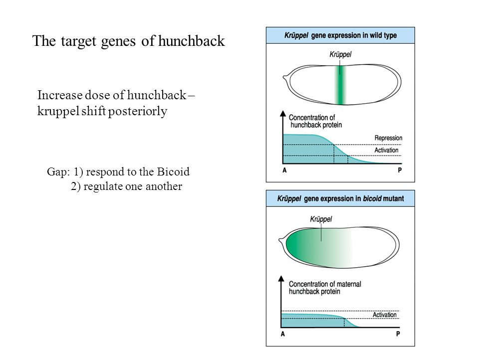 The target genes of hunchback