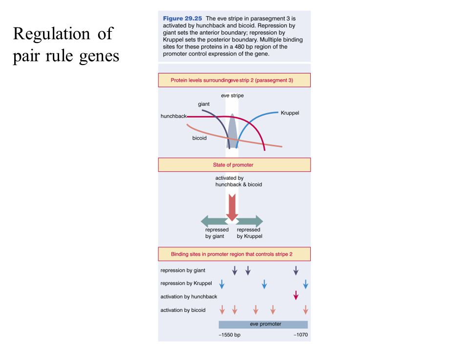 Regulation of pair rule genes