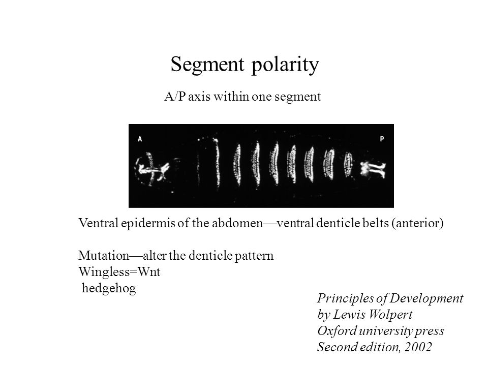 Segment polarity A/P axis within one segment