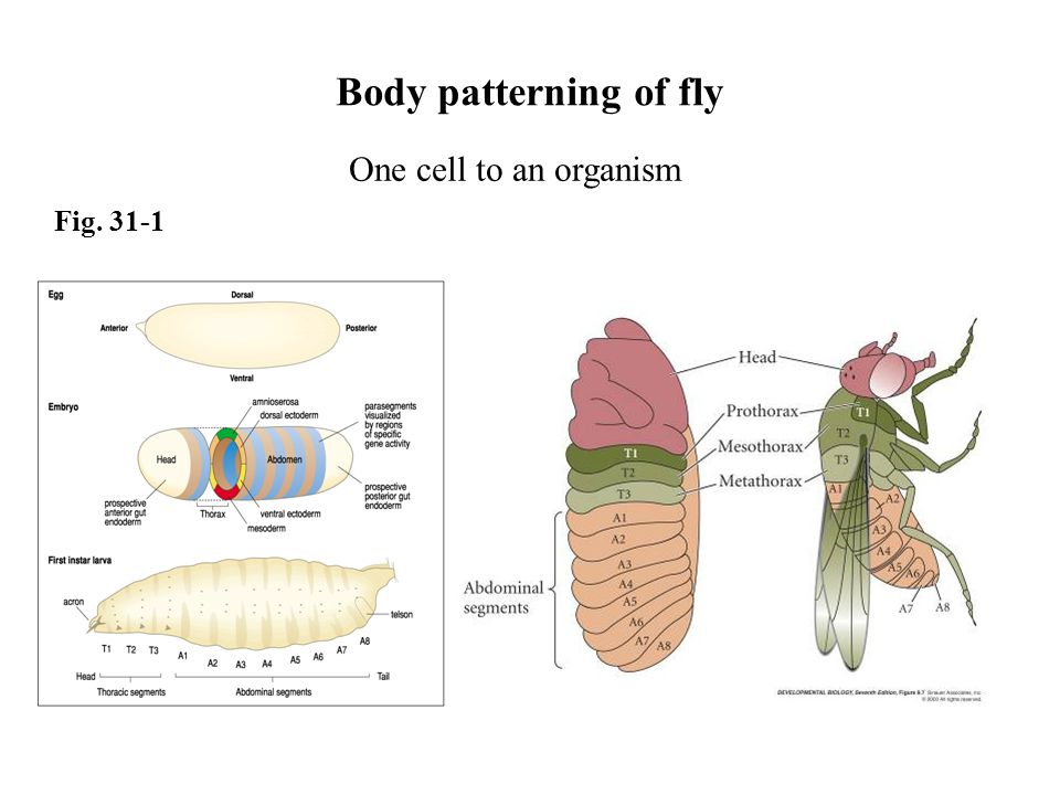 Body patterning of fly One cell to an organism Fig. 31-1