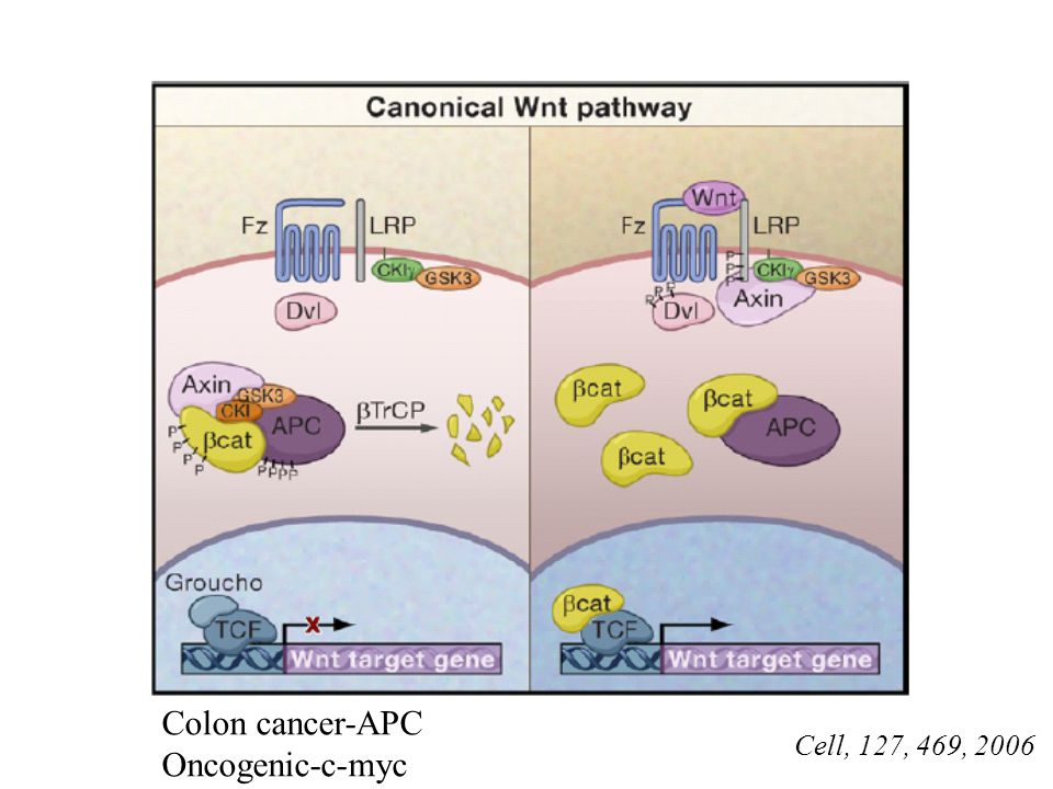 Colon cancer-APC Oncogenic-c-myc Cell, 127, 469, 2006
