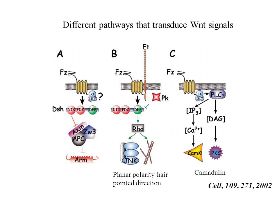 Different pathways that transduce Wnt signals