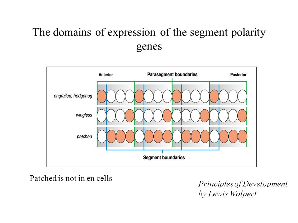 The domains of expression of the segment polarity genes