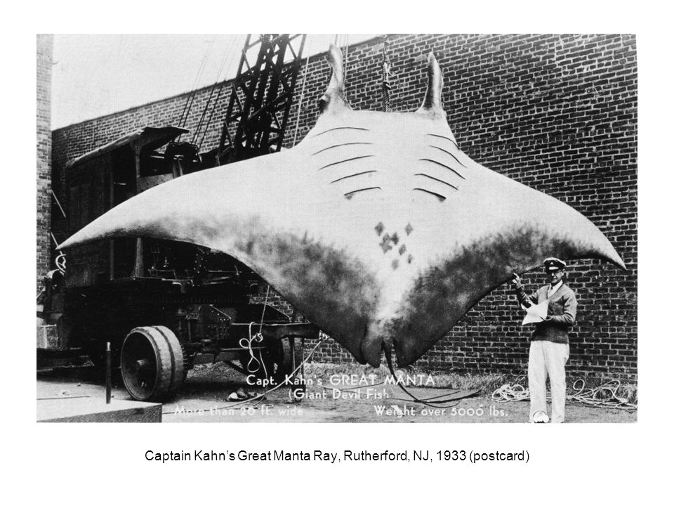 Captain Kahn's Great Manta Ray, Rutherford, NJ, 1933 (postcard)