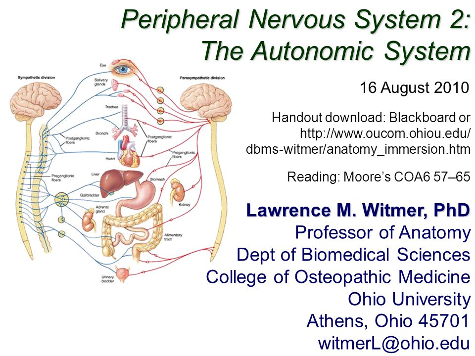 Peripheral Nervous System 2: The Autonomic System - ppt video online ...