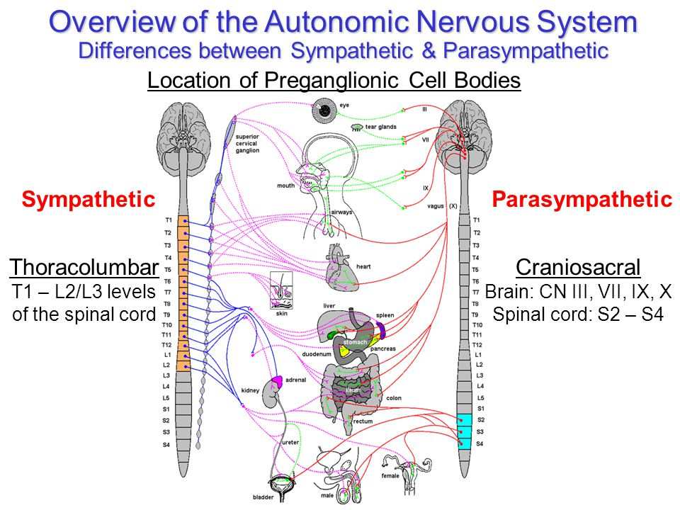 The autonomic nervous system relationship to