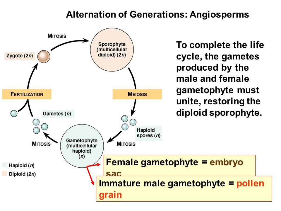 Angiosperms: Production of Male Gametophyte - ppt video online ...