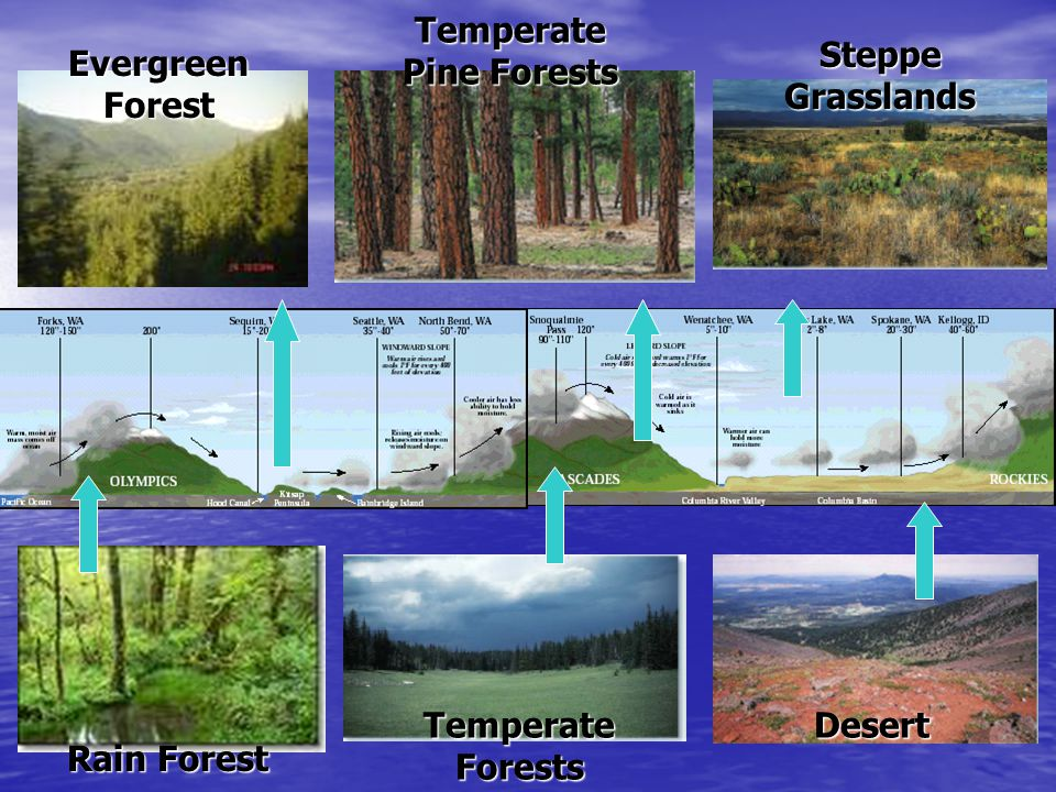 Temperate Pine Forests