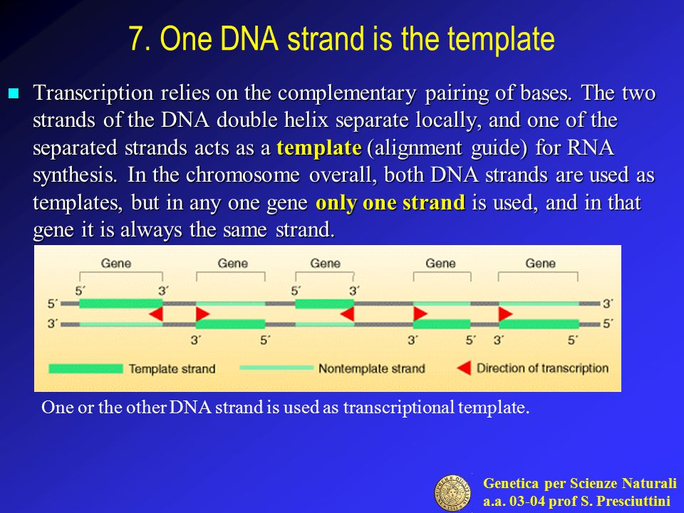 1 genes and rna the initial products of all genes is a for What is a template strand