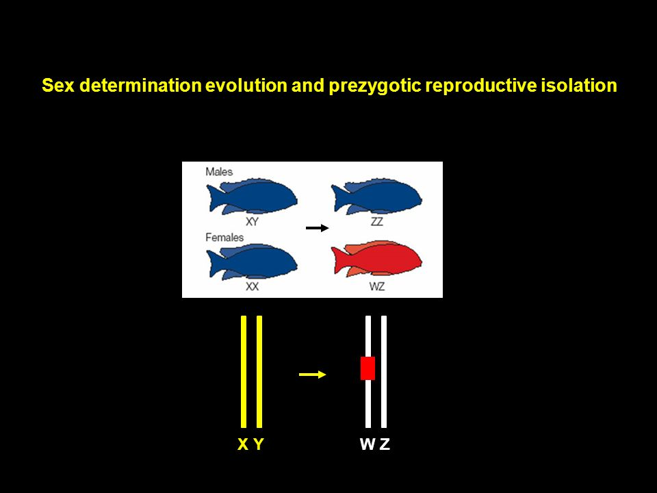 Sex determination evolution and prezygotic reproductive isolation