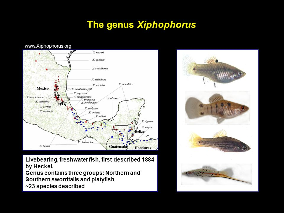 The genus Xiphophorus www.Xiphophorus.org. Livebearing, freshwater fish, first described 1884 by Heckel,