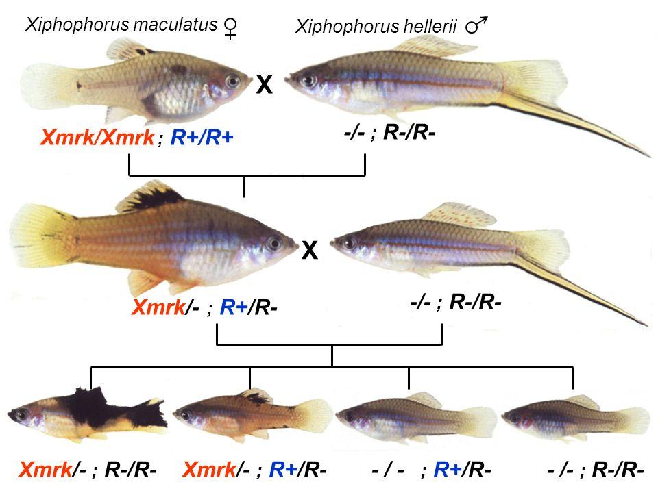 X X -/- ; R-/R- Xmrk/Xmrk -/- ; R-/R- Xmrk/- Xmrk/- Xmrk/- - / -