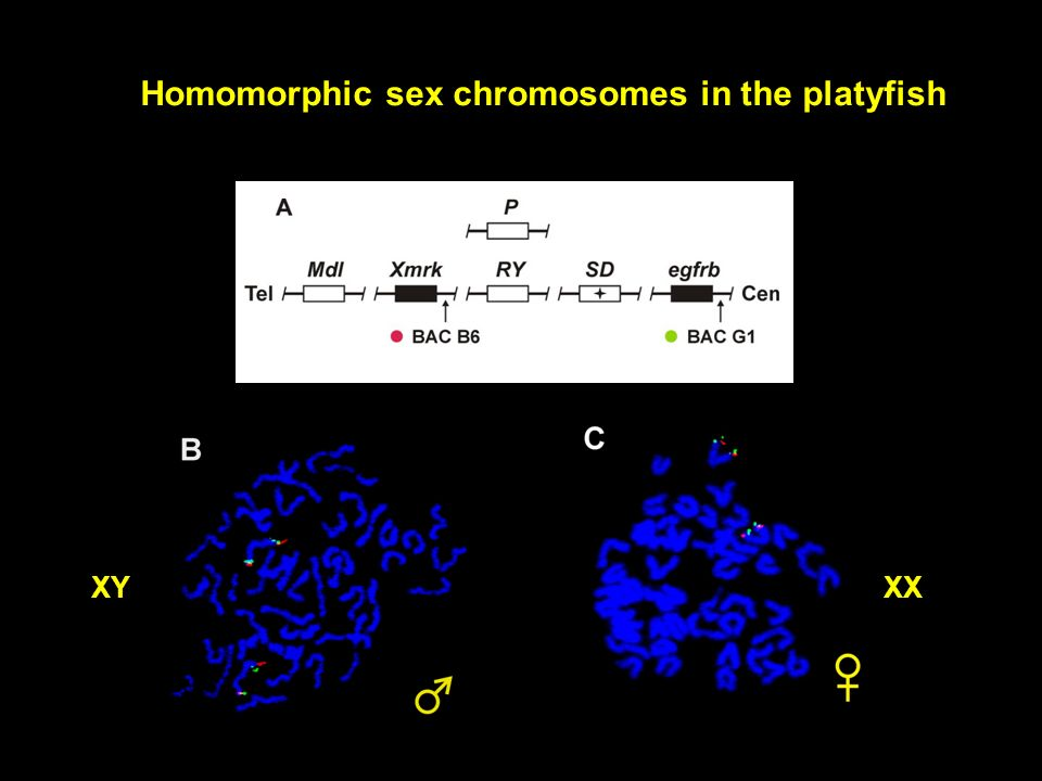 Homomorphic sex chromosomes in the platyfish