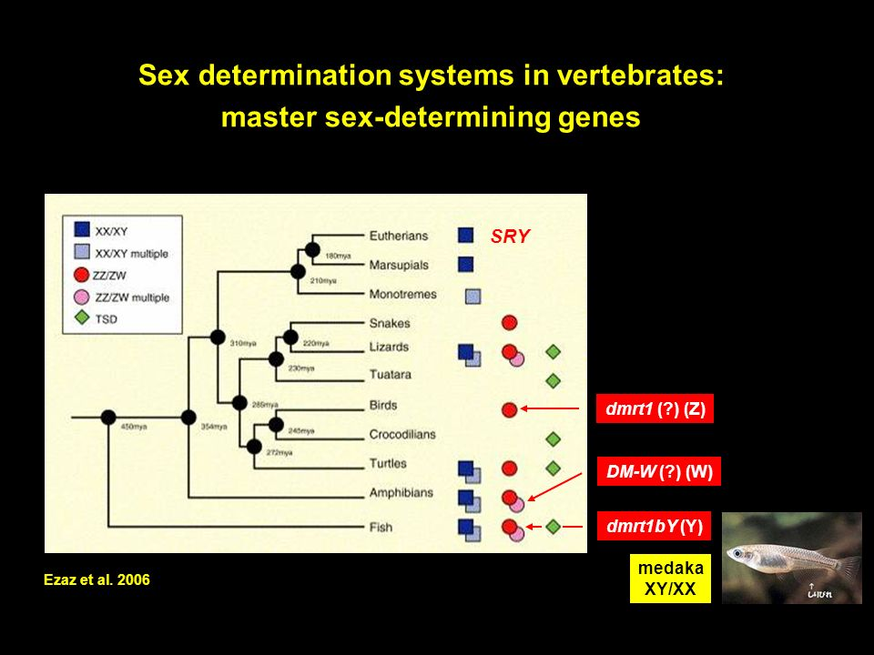 Sex determination systems in vertebrates: master sex-determining genes