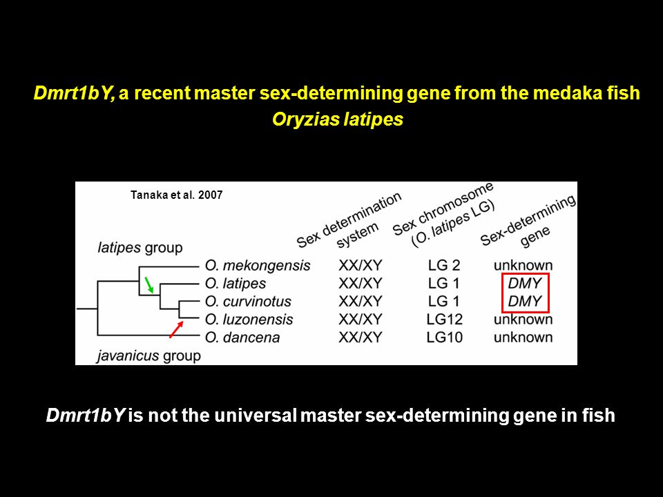 Dmrt1bY, a recent master sex-determining gene from the medaka fish
