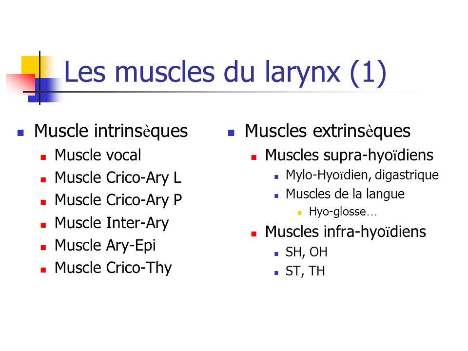 Les muscles du larynx (1)