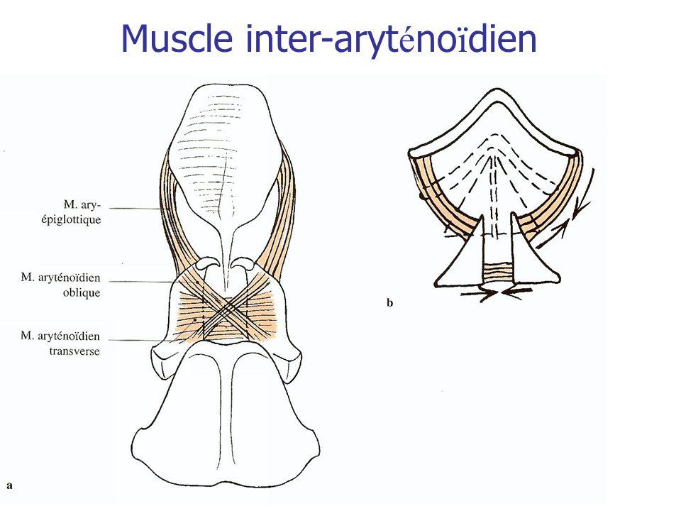 Muscle inter-aryténoïdien